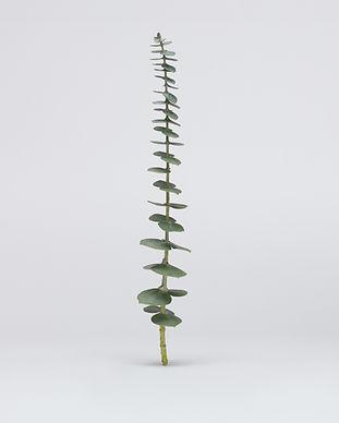 eucalyptus-rethos_Test_11-07-20-0087-web