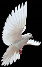 NEW DOVE.png