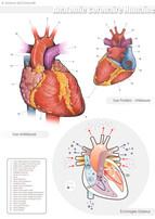 Anatomie coronaire humaine