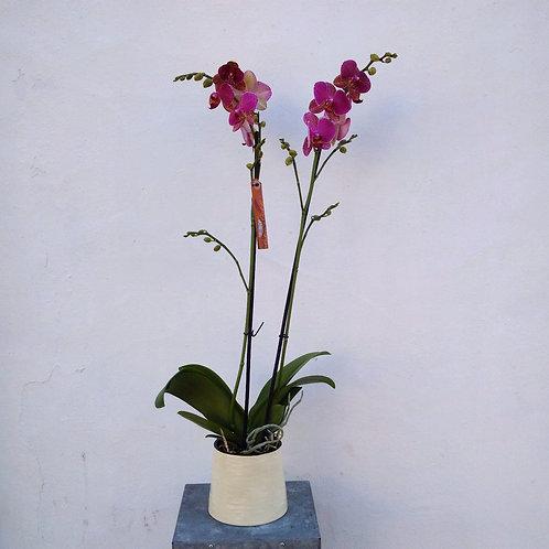 Purple Patchwork Orchid