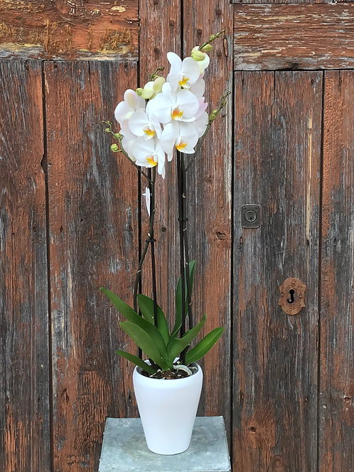 Orchid in White Ceramic Pot