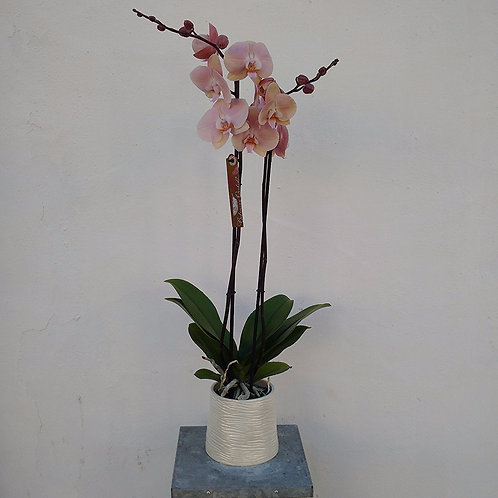 Antique Pink Orchid