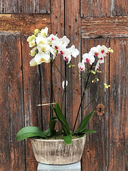 2 Orchids in Ceramic Pot