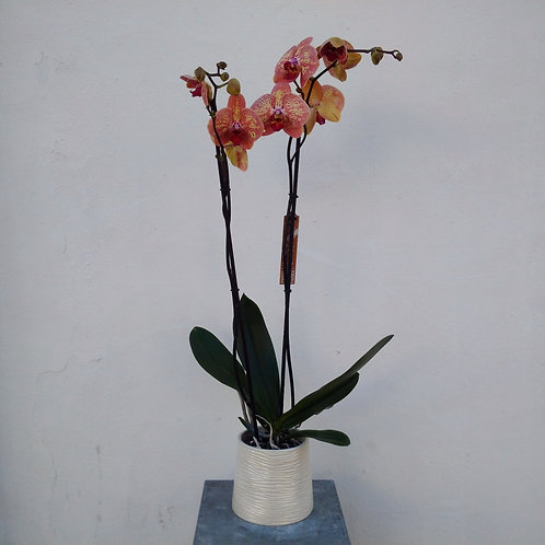 Salmon Dotted Orchid