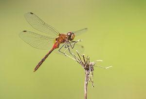 Dragonflies_26.jpg