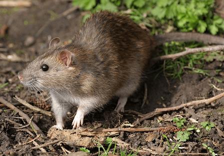 Rat Pic lite.png