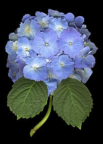 hydrangea, blue hydrangea, Lisa R Davis