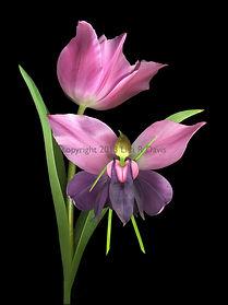 a flower fairy with a tulip, spring fairy, nature fairy