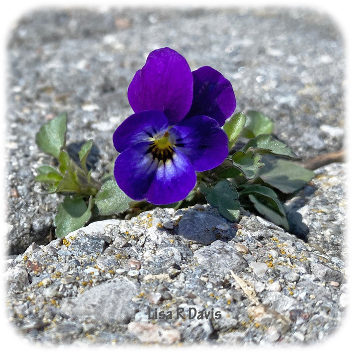 a viola growing between the paver crack of a patio
