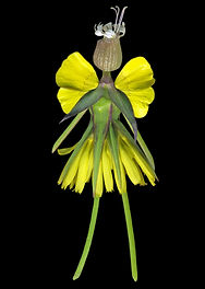 a meadow salsify fairy, flower fairy, yellow fairyy,
