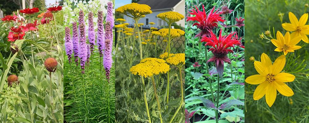 burgundy blanket flowers, liatris, fernleaf yarrow, bee balm, moonbeam coreopsis