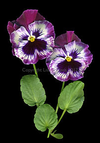 purple pansies, spring pansies