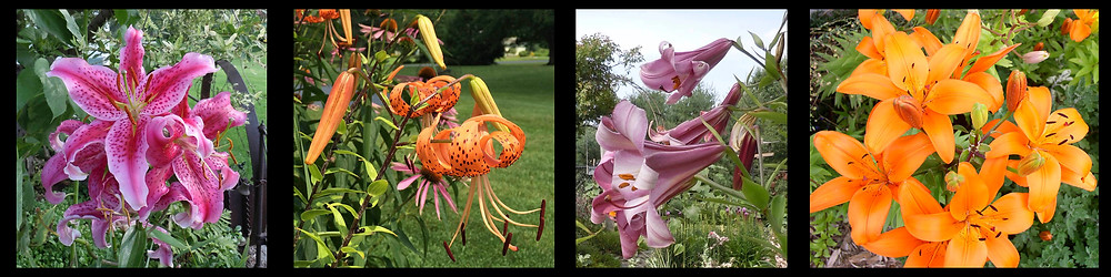 Oriental (stargazer) lily, tiger lilies, trumpet lilies, and Asiatic lilies