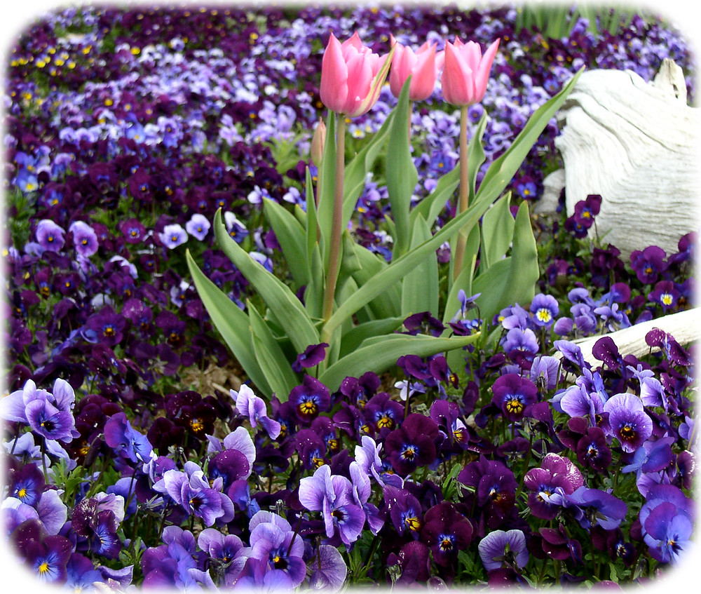 a tulip trio surrounded by a sea of violas in May—in the garden of Lisa Davis