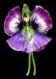 a pansy fairy, flower fairy, spring fairy