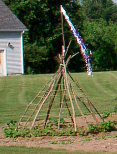 The pole bean teepee with the beans starting and streamers on top
