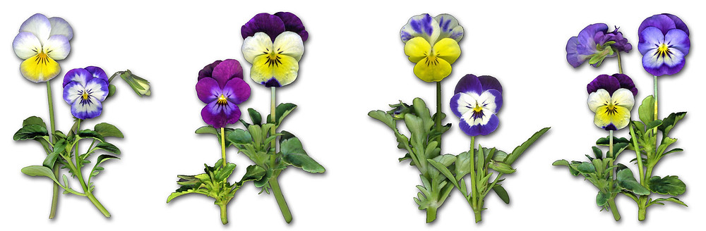a variety of tricolored violas from my early spring garden