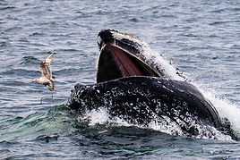 Bird escaping from whale