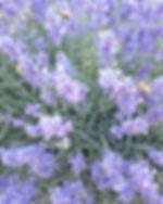 Lavendar in bloom