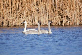 Trumpeter Swans.jpg