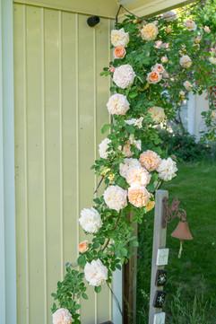 Rosenpracht an Gertruds' Eingang