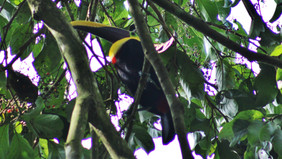 Flight of the Toucan