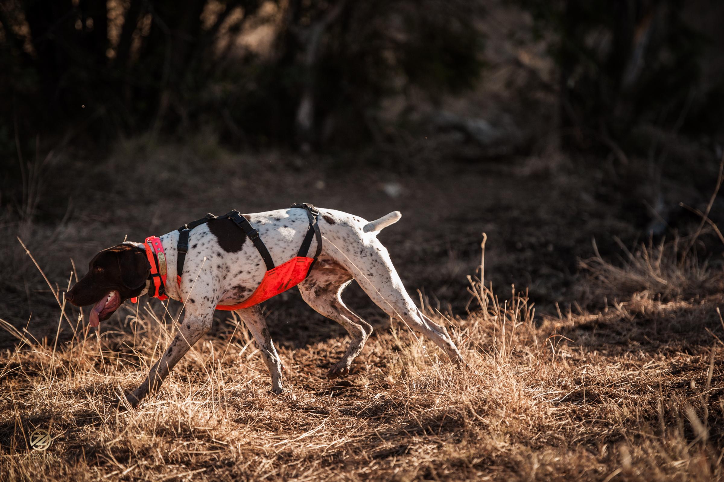 Mearns Quail Hunt Luna Rita 2122