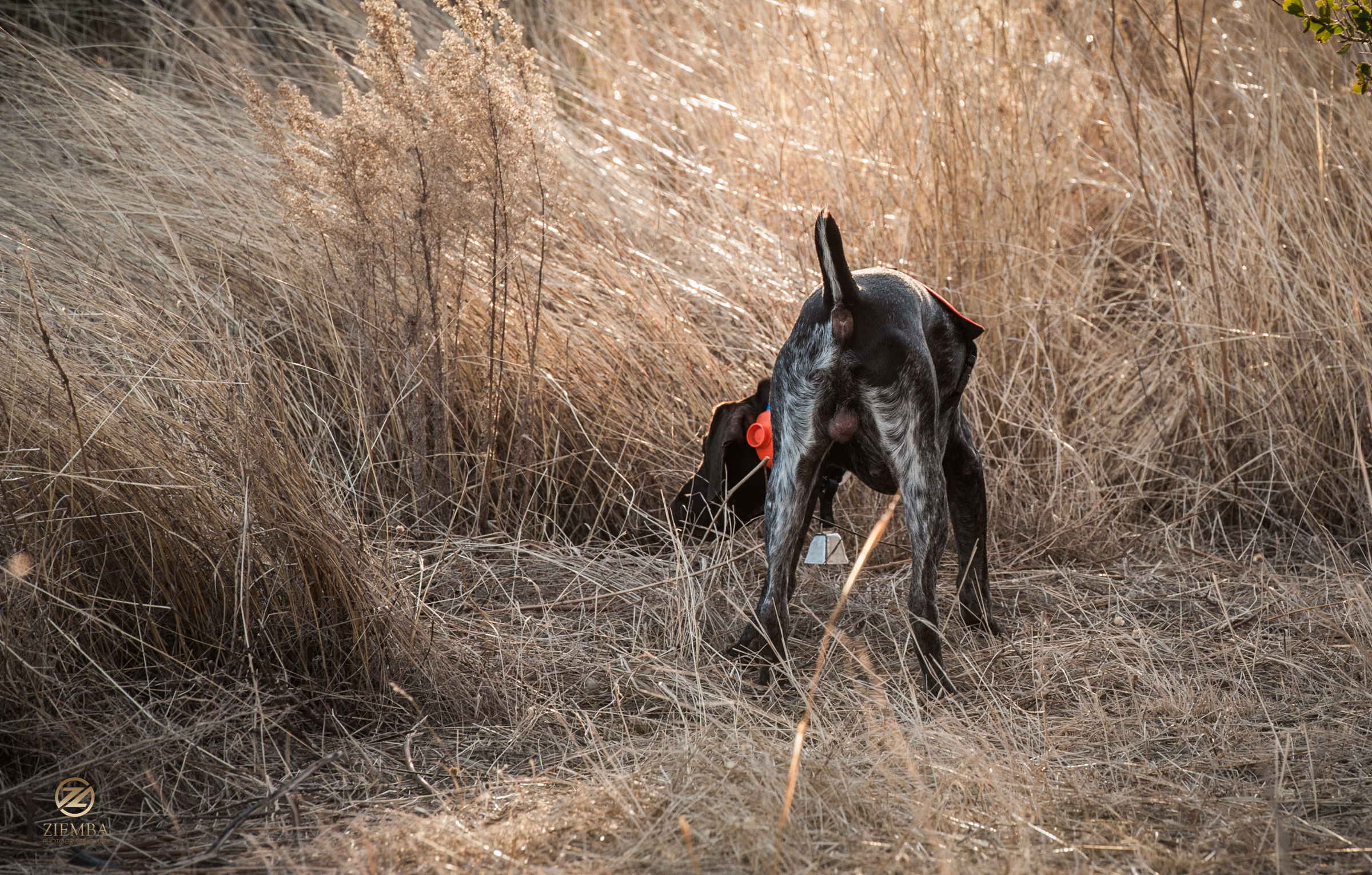 Mearns Quail Hunt Luna Rita 2254