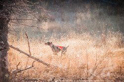 Mearns Quail Hunt Luna Rita 1240