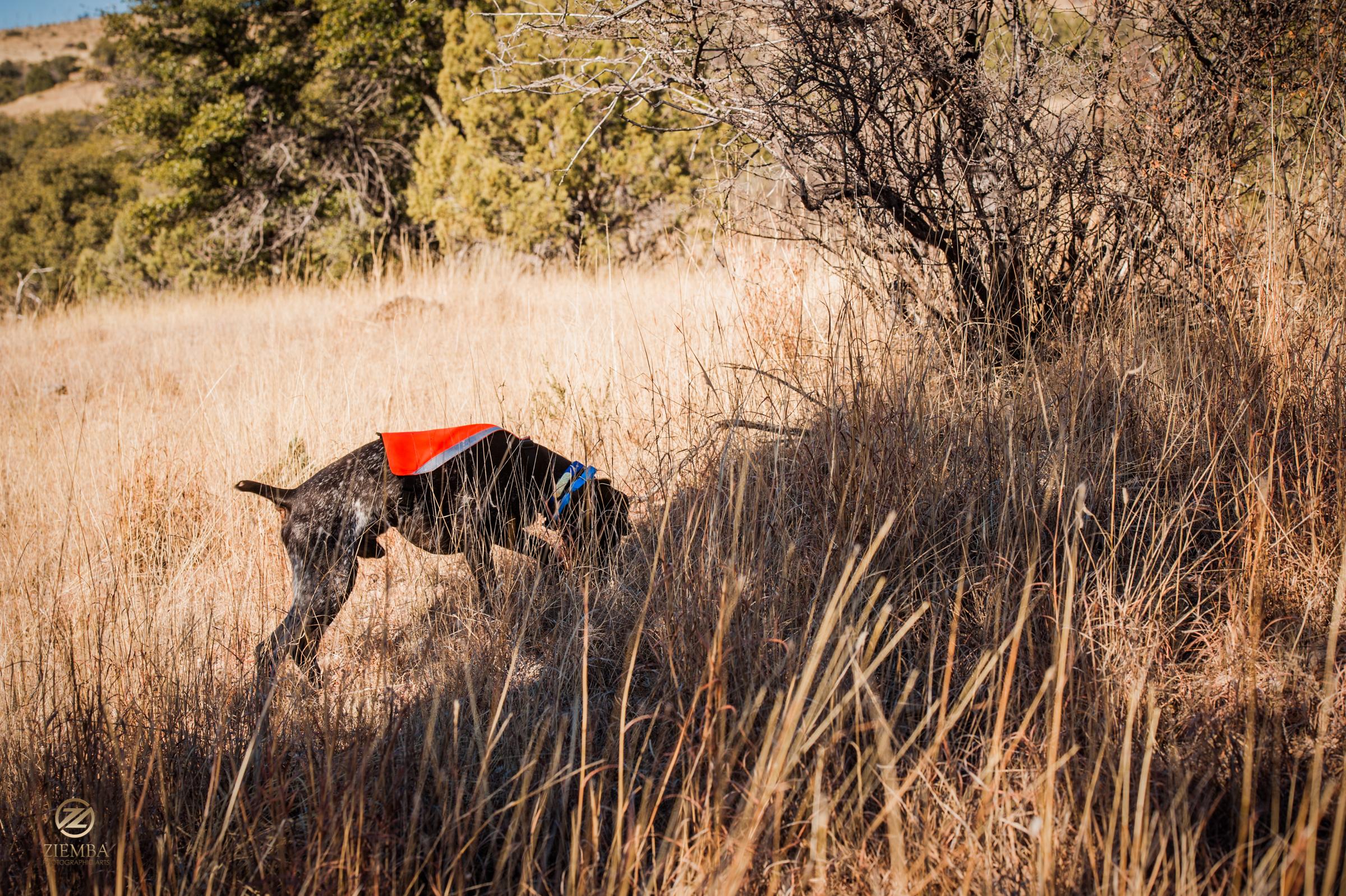 Mearns Quail Hunt Luna Rita 1453