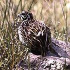 Mearns quail hunt