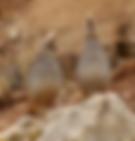 quail hunt Arizona