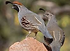 Arizona quail guide