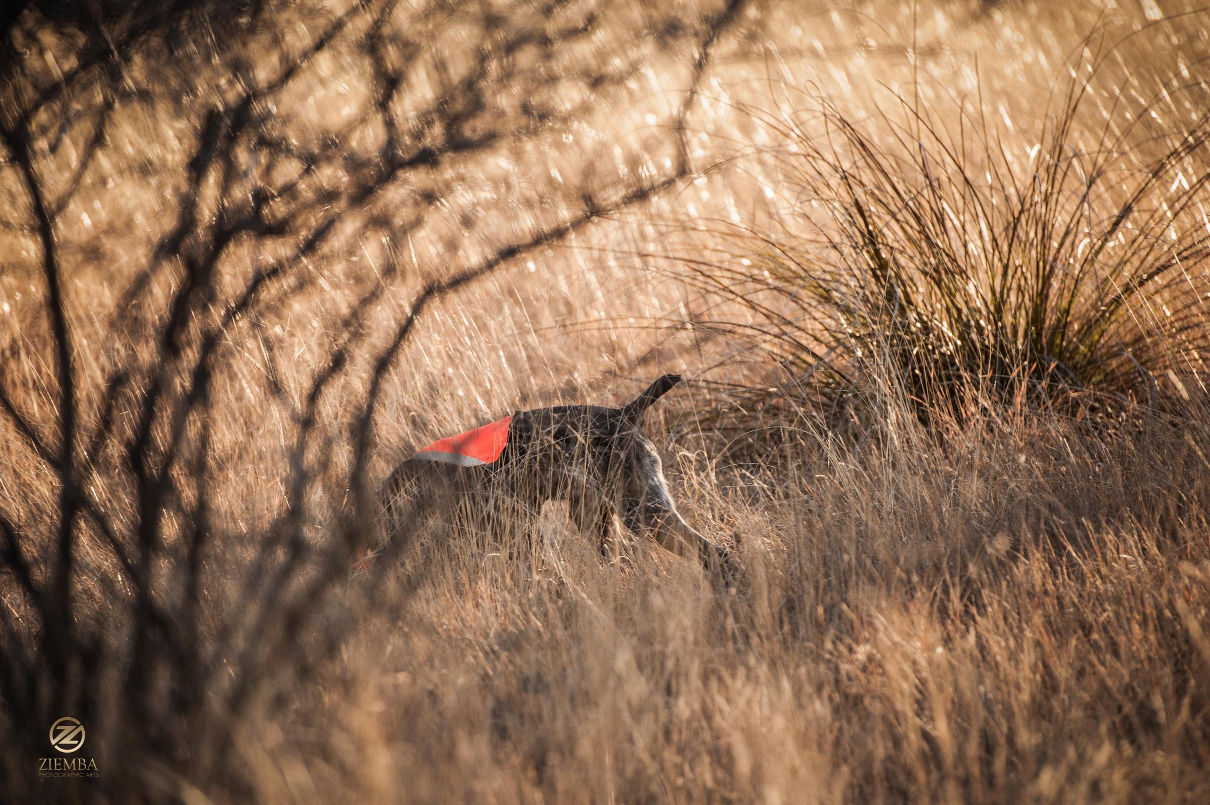 Mearns Quail Hunt Luna Rita 2324