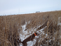 working cattails in South Dakota