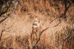 Mearns Quail Hunt Luna Rita 1201