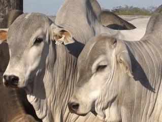 Semana de ajustes positivos no mercado do boi gordo