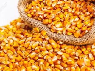 EUA vendem 44% mais milho da safra 2018/19 na semana