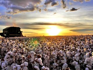 MS registra melhor produtividade do país na safra de algodão, aponta Ampasul