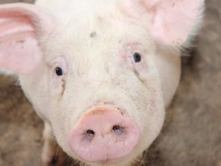Peste suína no Nordeste deixa produtores de MS em alerta