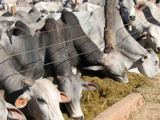 Mercado do boi gordo em ritmo lento