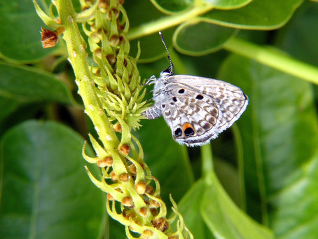 Meet South Florida's low-maintenance gateway insect