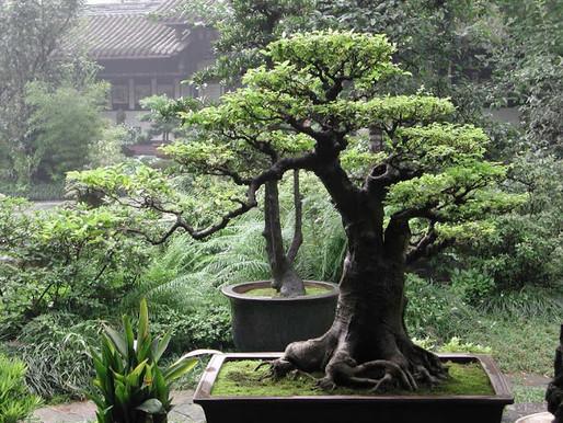 Bonsai Bakımı ve Bonsai Kültürü