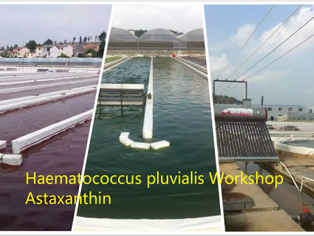 Large stock for Astaxanthin-Haematococcus pluvialis