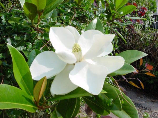 Organic Magnolia Bark Extract.jpg