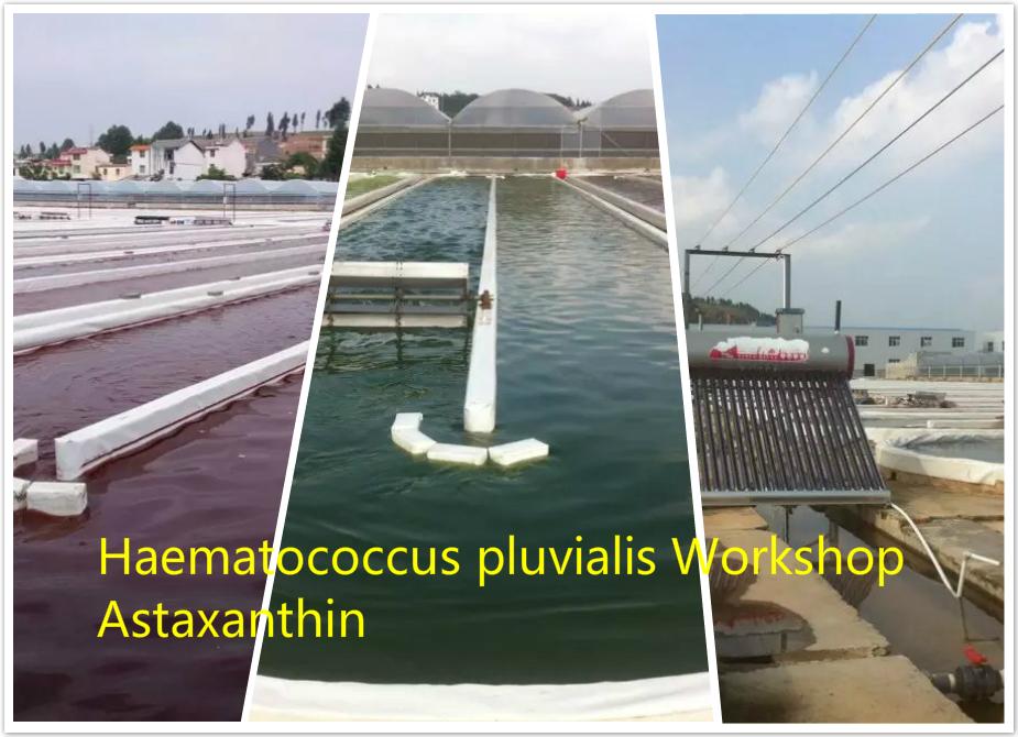 Buy Astaxanthin Haematococcus pluvialis Work Shop