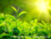 Green Tea Extract Polyphenols EGCG