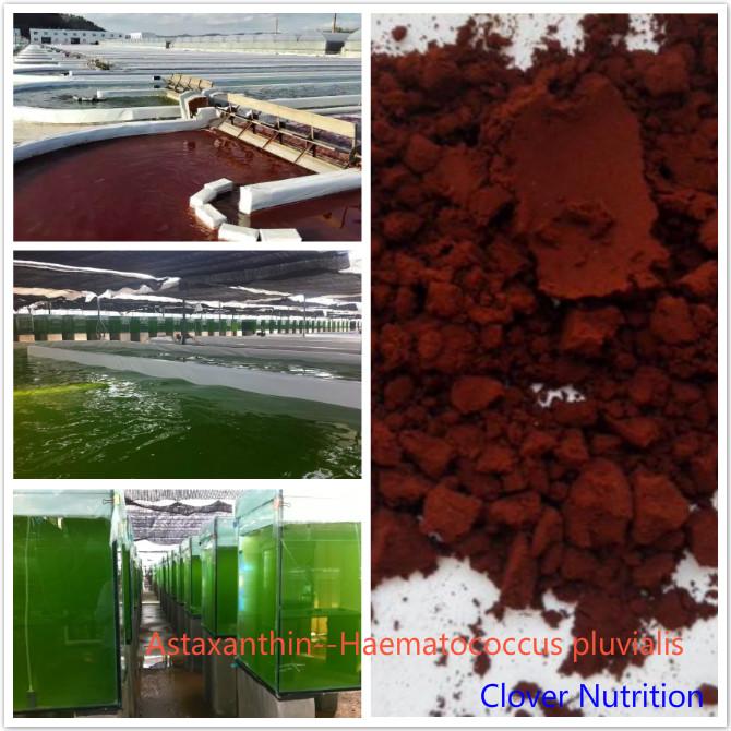 haematococcus pluvialis Buy Astaxanthin Astaxanthin Factory 2