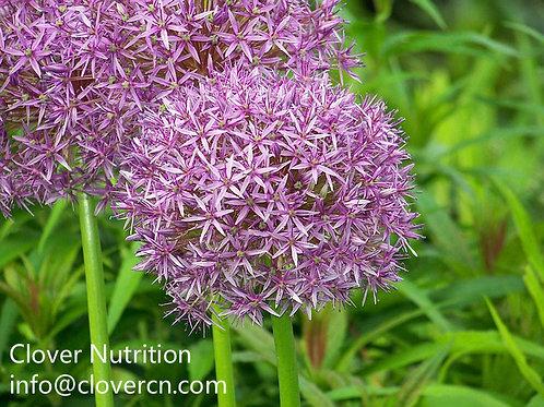 Allium Ampeloprasum Straight Powder