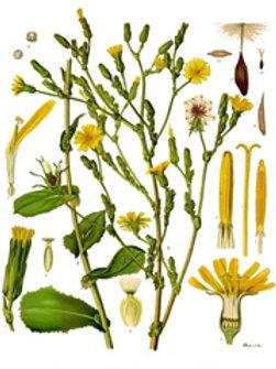 Wild Lettuce Extract
